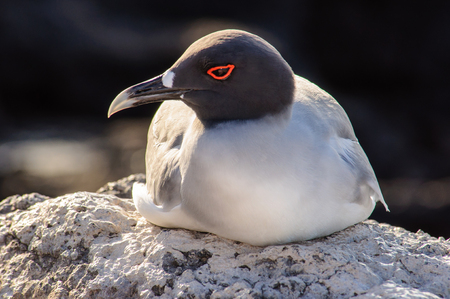 lava: Lava Gull sat on a rock