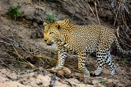 prowl: Male Leopard on the prowl