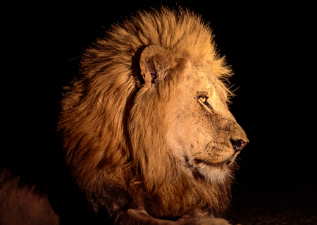 head shot: Head shot of a male lion at night Stock Photo