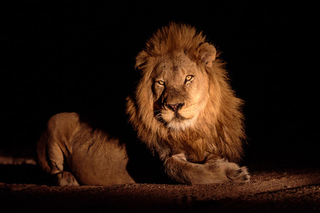 darkness: Male Lion in the darkness Stock Photo
