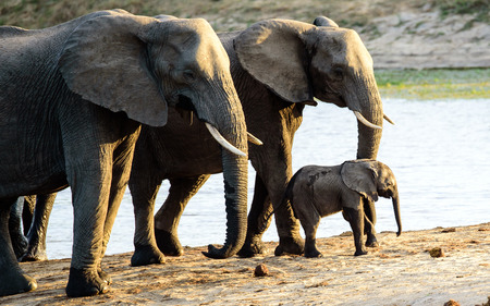 sabi sands: Elephant calf with two bodyguards