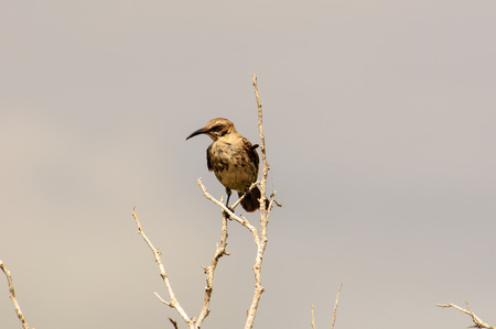 mockingbird: Galapagos Mockingbird in a tree Stock Photo