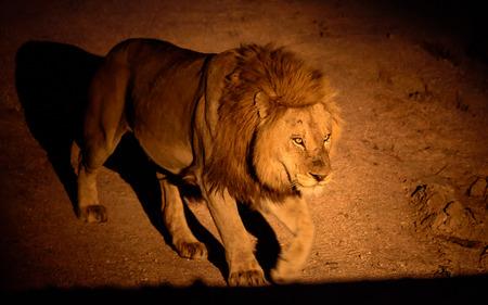 patrol: Lion on night patrol
