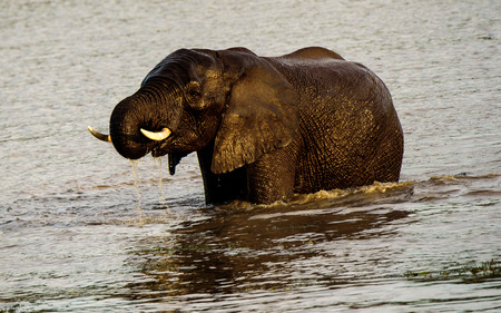 waterhole: African Elephant enjoying the waters of a waterhole