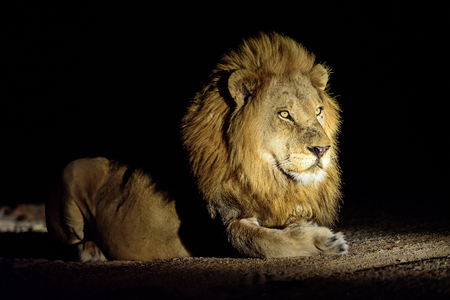 sabi sands: Handsome male lion in the darkness of night
