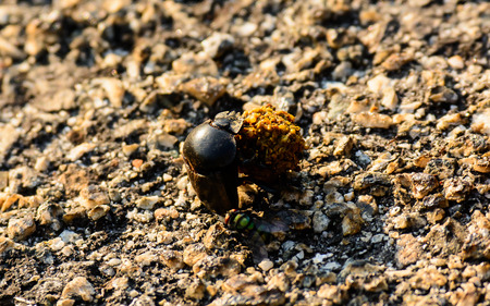 Dung Beetle hard at work Stock Photo