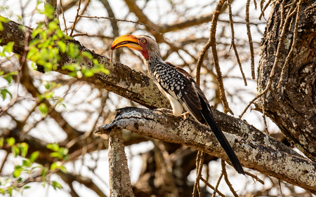 sabi sands: Southern yellow billed Hornbill on the branch of atree
