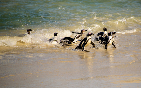 shore line: African penguins on the shore line Stock Photo