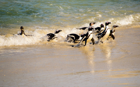 penguins on beach: African penguins arriving at the beach