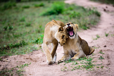 acknowledging: Lionesses greeting each other