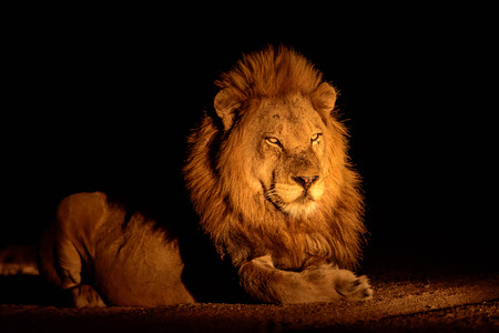 sabi: Magnificent male lion at night time Stock Photo