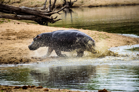 sabi sands: Hippo charging out of the water at full speed Stock Photo