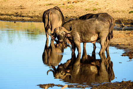 sabi sands: Buffalos and their water reflections
