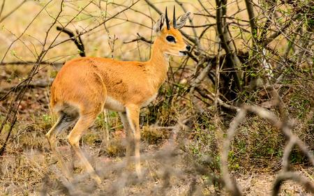 sabi sands: Steenbok in the undergrowth