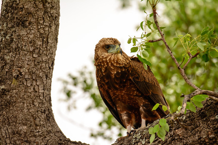 sabi: Wahlbergs Eagle in a tree