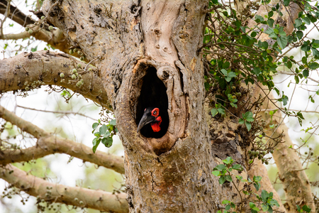peeping: Ground Hornbill peeping out of its nest hole Stock Photo