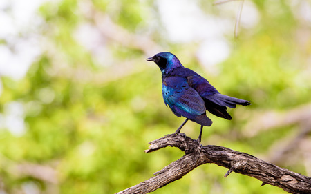 sabi sands: Blue eared starling on the branch of a tree Stock Photo