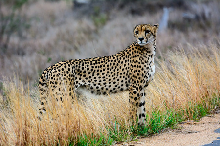 sabi sands: Cheetah looking right before crossing the road