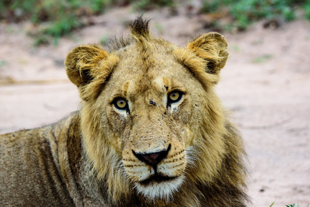 face close up: close up of the face of a young male Lion