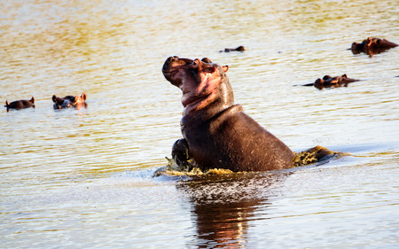 at waterhole: Hippo porpoising en las aguas de la charca