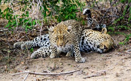 desperately: Female Leopard trying desperately to evoke some response from her sleeping partner