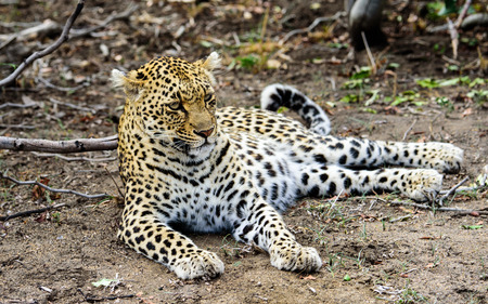 chilled out: Chilled out female Leopard