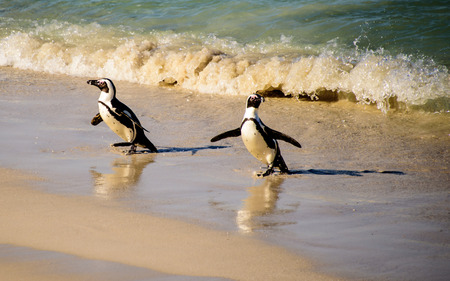 shore line: African penguins and their shadows on the shore line
