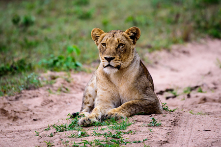 gazing: Lioness gazing ahead at potential prey Stock Photo