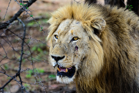 face close up: Close up of the face of a warring male lion