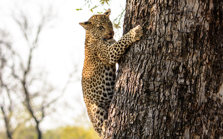 five month old: Five month old Leopard cub climbing down the tree trunk