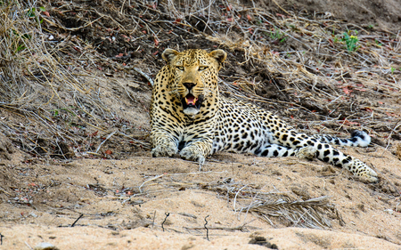 gazing: Male Leopard gazing ahead