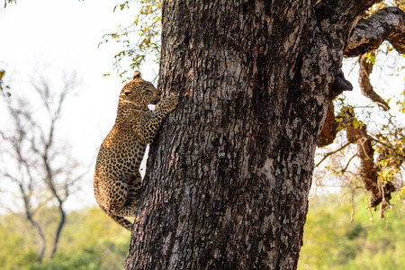 five month old: Five month old Leopard cub