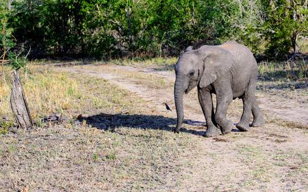 sabi sands: Elephant calf walking and its shadow