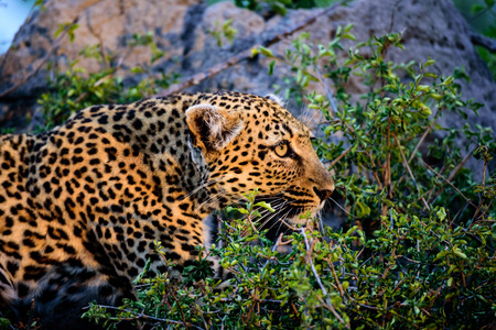 big 5: close up of the face of an anxious female leopard Stock Photo
