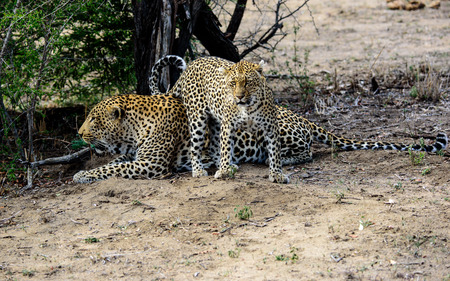 sabi sands: Amazing size difference between male and female leopard