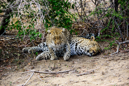 sabi sands: Female Leopard trying to wake up her partner