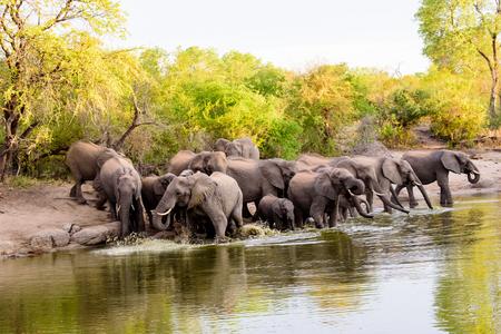 sabi sands: Group of African elephants enjoying the water