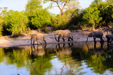 sabi sands: African elephants and their reflections in the waters of a waterhole Stock Photo