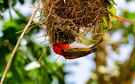 weaver bird nest: Red Headed Weaver bird building its nest