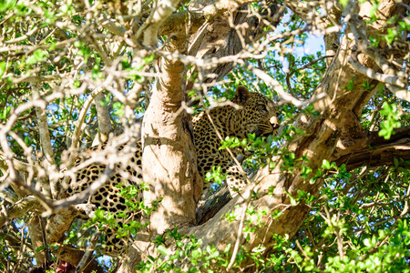 sabi sands: Male Leopard in a tree Stock Photo