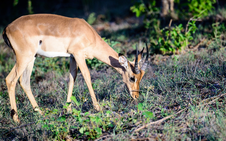 sabi: Impala feeding on the ground
