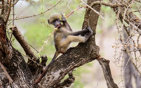 mischievous: mischievous baby vervet monkey