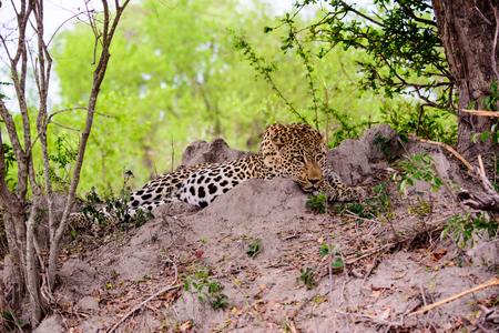 chilled out: Relaxed and chilled out Leopard