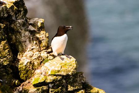 seabirds: Razorbill perched on a rock Stock Photo