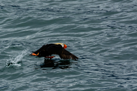 tufted puffin: Tufted puffin in flight
