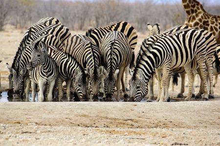 pozo de agua: Group of Zebra drinking side by side at the waterhole