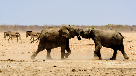 Elephants play fighting Stock Photo