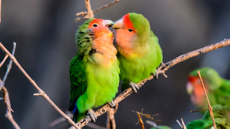 two faced: Two loving rosy faced lovebirds