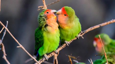 Two loving rosy faced lovebirds