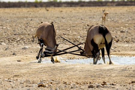 locking: Two warring Gemsbok locking horns Stock Photo